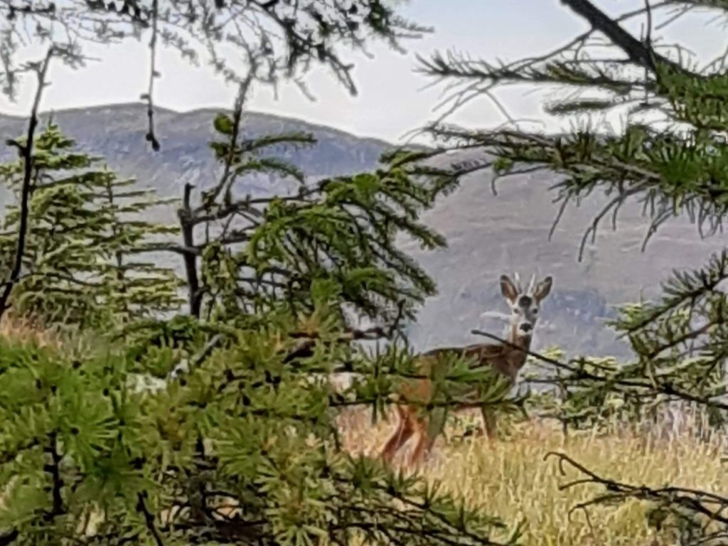 Deer on Cow Hill